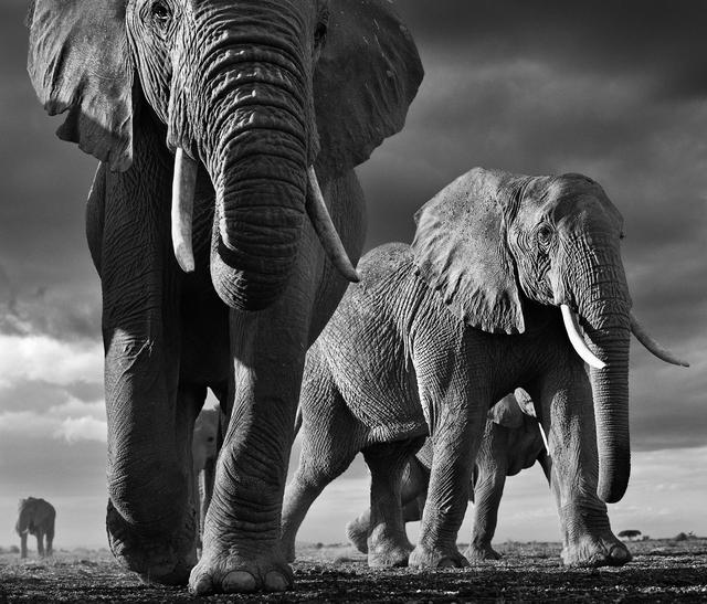 David Yarrow, 'Big, Amboseli, Kenya', 2012, Photography, Archival Pigment Photograph, Holden Luntz Gallery