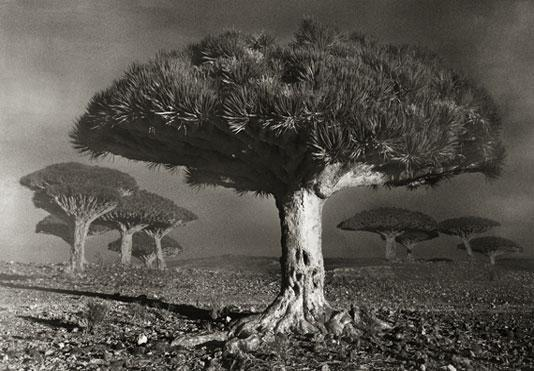 Beth Moon, 'Dragon Blood Forest at Dawn', 2010/2012, Vision Neil Folberg Gallery