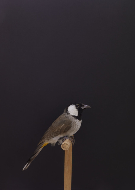 , 'White Cheeked Bulbul #1,' ca. 2016, The Photographers' Gallery