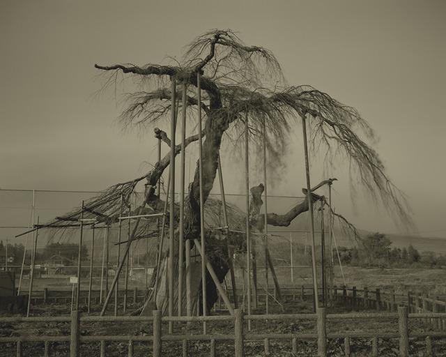 Keiichi Ito, 'Shinden no Ooitosakura', 2012, Micheko Galerie