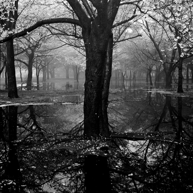 Toshio Enomoto, '017 - Cherry tree woods in Yoyogi Park after a spring storm', 1994, Micheko Galerie