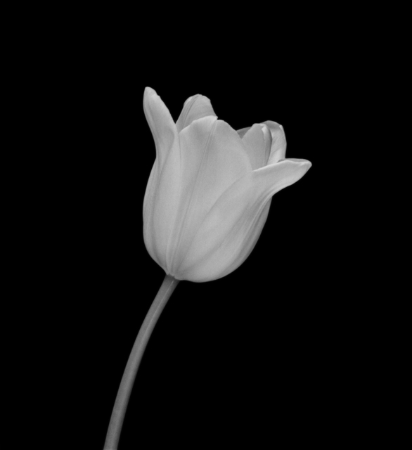 , 'White Tulip, New York City, 7 February 2000, 1:45pm,' 2000, Lee Marks Fine Art