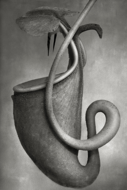 , 'Nepenthes Bicalcarata,' , photo-eye Gallery