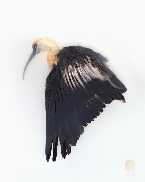 , 'Black-Face Ibis, from the Series 'Unknown Poses',' 2016, Kahmann Gallery