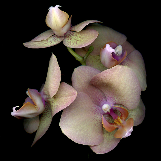, 'Moth Orchid,' , J. Petter Galleries