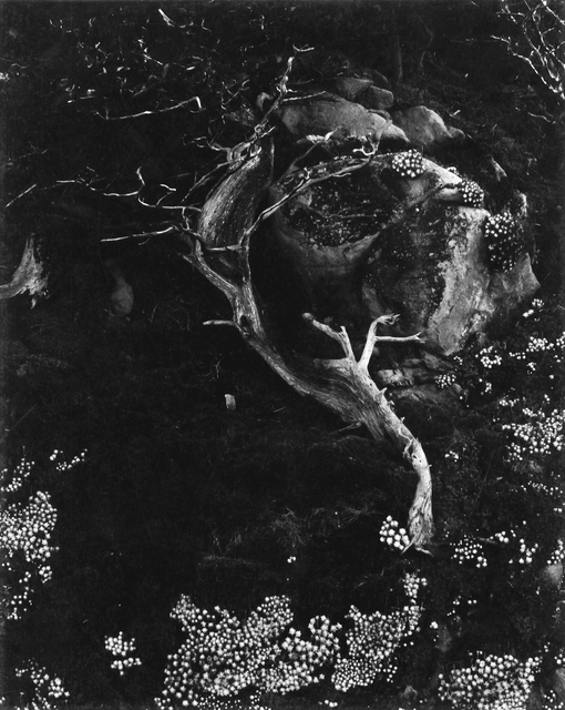 ", 'Cypress, Rock, Stone Crop (""Cypress and Succulents""), Point Lobos, California,' 1930, Robert Klein Gallery"