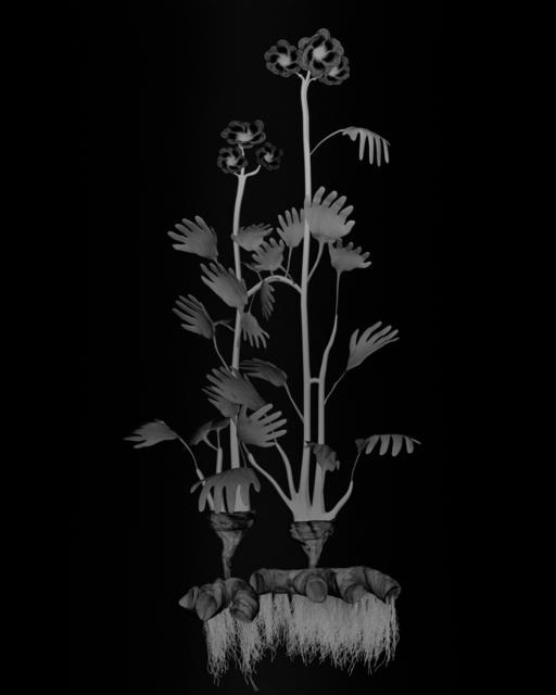 , 'Voynich Botanical Studies, Specimen 23r Zima,' 2016, Koenig & Clinton