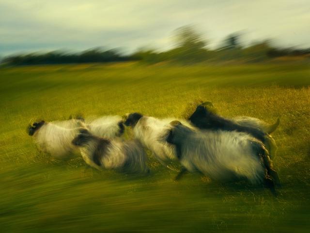 , 'German Pastoral Study I, Kehl, German,' 2016, Burnet Fine Art & Advisory