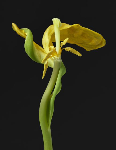 TIM NIGHSWANDER, 'Yellow Tulip #19', 2018, Garvey | Simon