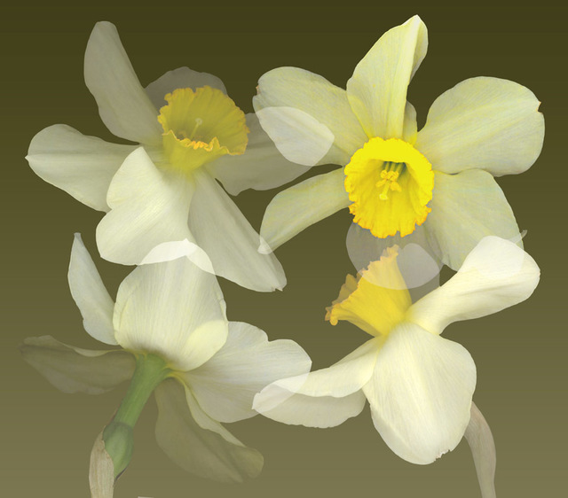 , 'Daffodil Quartet,' 2015, Florida Fine Art