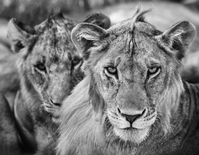 David Yarrow, 'The Boys Are Back In Town', 2019, Photography, Archival pigment print on paper, Fineart Oslo