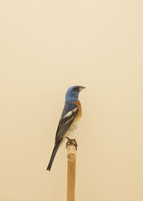 , 'Lazuli Bunting #1,' ca. 2016, The Photographers' Gallery