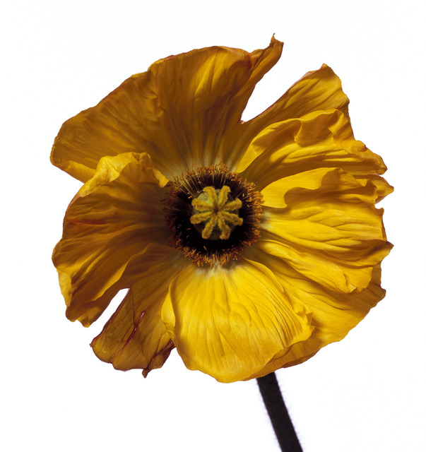Michael Zeppetello, 'Iceland Poppy (Y)', ca. 2017, Photography, Hahnemuehle Photo Rag Baryta Paper, Almond & Co.