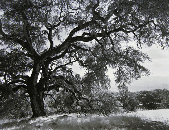 , 'Overreaching Oak, California,' 2013, Photography West Gallery