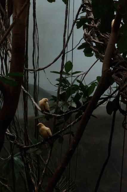 , 'Pied Imperial Pigeon 2,' 2013, Kopeikin Gallery