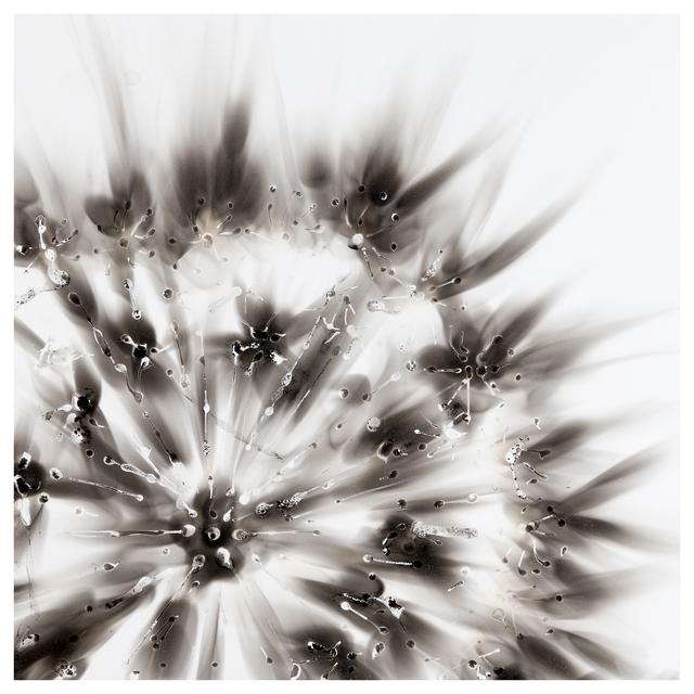 , 'Aquagraph 1515, Dandelion Seed Head,' 2015, Michael Warren Contemporary