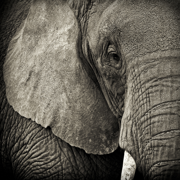 Paul Coghlin, 'Portrait of an Elephant', 2009, Weston Gallery