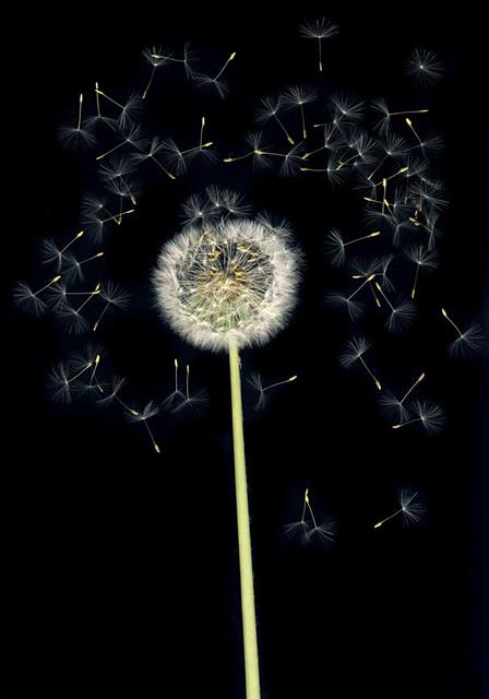 , 'Flowers #6, Untitled (Puste/Dandelion),' 2010, Yancey Richardson Gallery