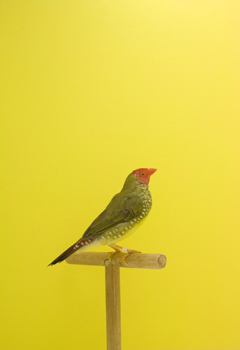 Luke Stephenson, 'Star Finch #2, from The Incomplete Dictionary of Show Birds', 2009, The Photographers' Gallery | Print Sales
