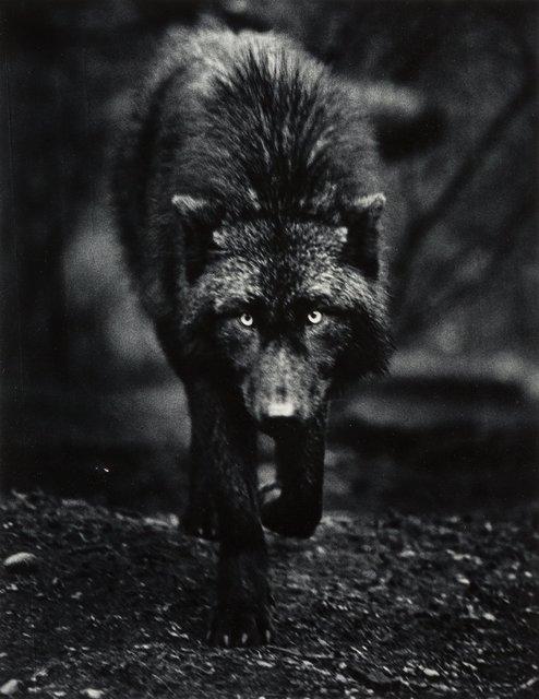 Carl Cook, 'Destiny, Wolf Haven, Tenino, Washington', 2001, Heritage Auctions