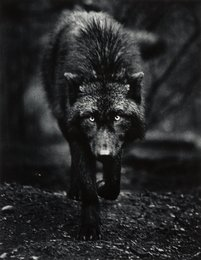 Destiny, Wolf Haven, Tenino, Washington