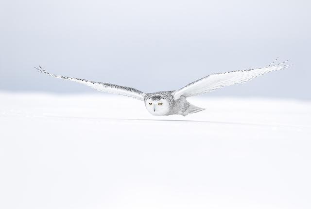 , 'Harfang Volant au dessous de la Neige (Snowy Owl Flying above the Snow),' , Paul Nicklen Gallery