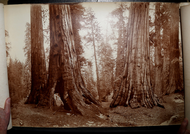 , 'Panorama of Mariposa Grove, Yosemite,' ca. ca. 1892 to 1906, Be-hold