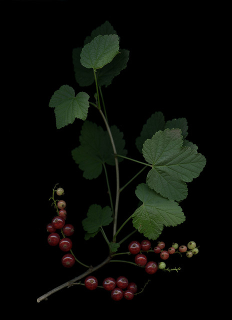 , 'Johannisbeere (Ribes),' 2018, Galerie Judith Andreae
