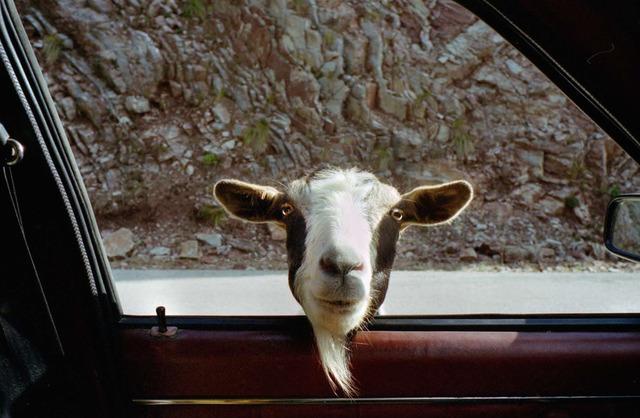 , 'Agrafa (goat),' 2002, Dio Horia