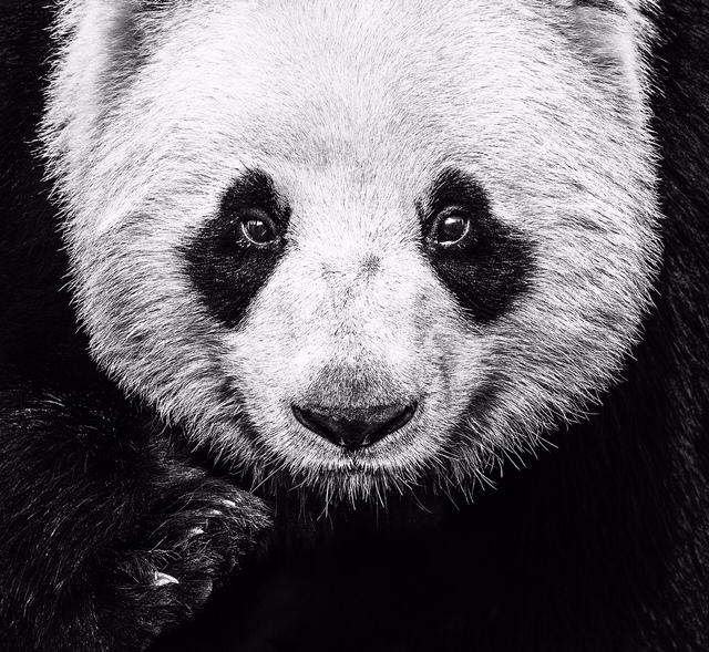 David Yarrow, 'Kung Fu Panda', 2016, Samuel Lynne Galleries