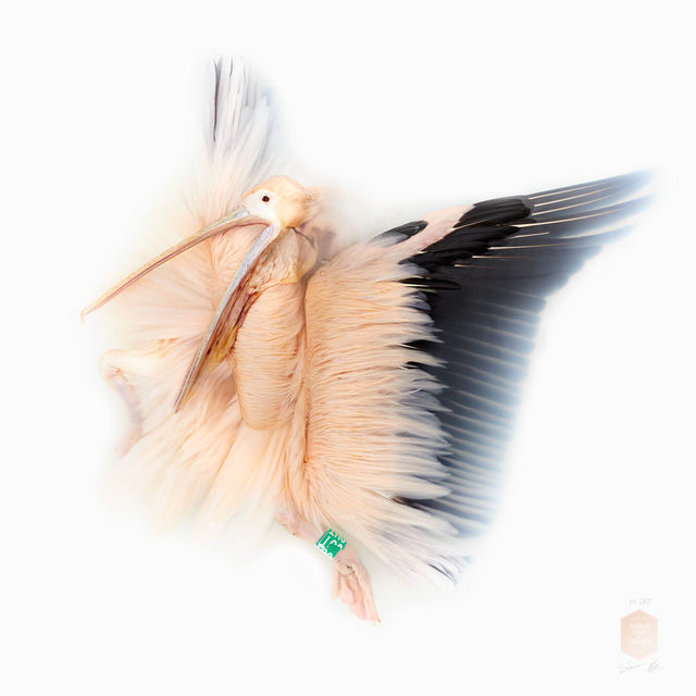 , 'Great White Pelican, From the Series 'Unknown Poses',' 2016, Kahmann Gallery