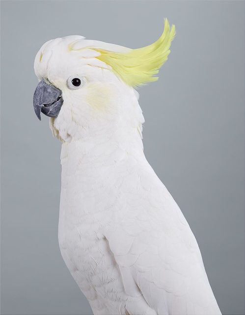, 'Scratch, Sulphur-crested Cockatoo,' 2017, Purdy Hicks Gallery
