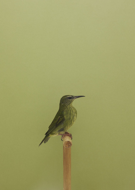 , 'Red-legged Honeycreeper (female) #1,' ca. 2016, The Photographers' Gallery
