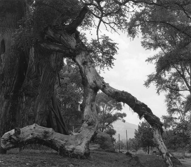 , '大树 Big Tree,' 2016, C14 Gallery