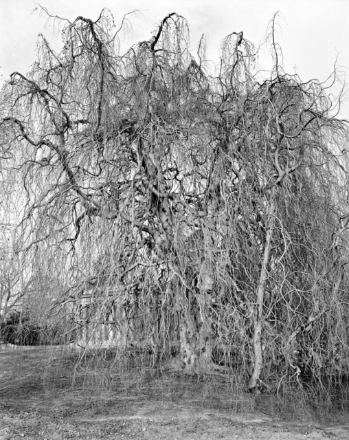 , 'Weeping Beech, Woodlawn Cemetery, Bronx ,' 2012, Galerie Les filles du calvaire