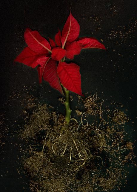 , 'Euphorbia Pulcherrima,' 2016, Jessica Carlisle