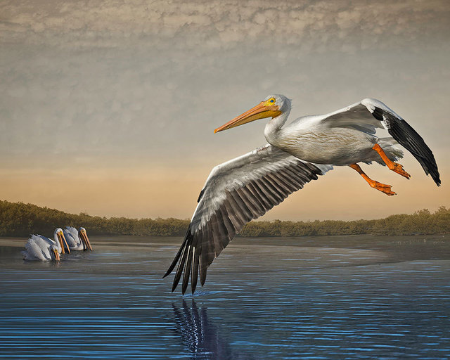 Cheryl Medow, 'White Pelicans at Dawn', 2016, Photography, Archival pigment print, PDNB Gallery