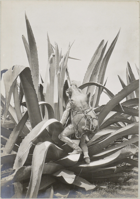 , 'Tlachiquero. Drawing pulque from the maguey,,' ca. 1898, SERGE PLANTUREUX