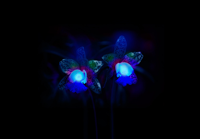 , ' Orchids in Ultraviolet, from the series How to eat bees?,' 2013, Mizuma Art Gallery