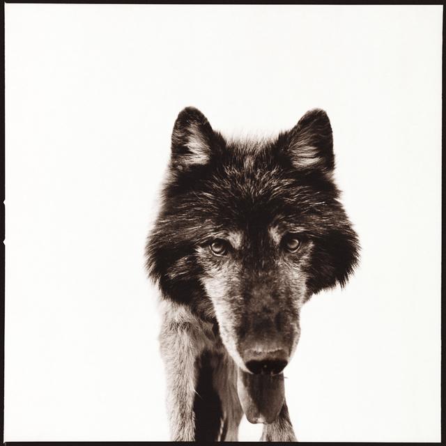 Nine Francois, 'Wolf III', Weston Gallery
