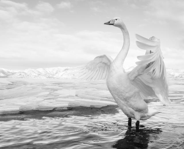 , 'Swan Lake,' 2017, Hilton Asmus