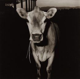 Peter Hujar, 'Cow with Straw in Its Mouth,' 1978, Phillips: The Odyssey of Collecting