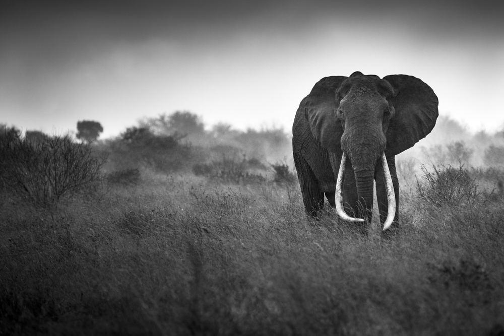 Big Tusker In The Rain, Tsavo Kenya, 2014 by Frank af Petersens