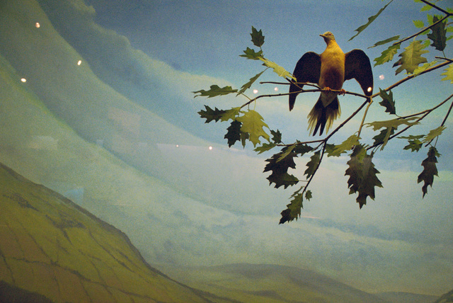 Rebecca Norris Webb, 'Extinct Passenger Pigeon Diorama, Rochester Museum and Science Center', 2013, Robert Koch Gallery