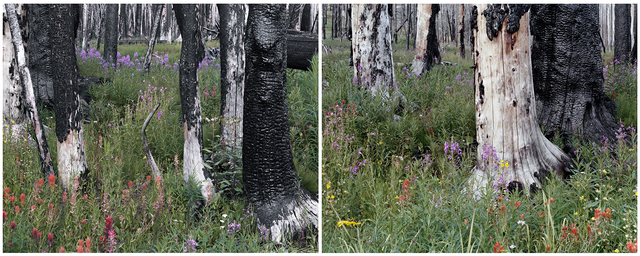 , 'Evening (Spruce Trees, Indian Paintbrush, Fireweed, Daisies), Fourth of July Creek Canyon, Custer County, Idaho (Diptych) 1/5,' , Gail Severn Gallery