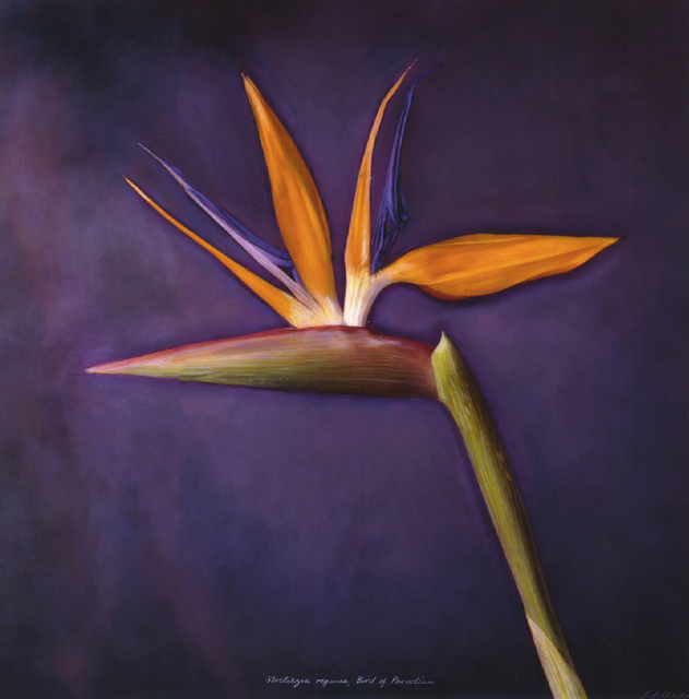 Kate Breakey, 'Strelitzia reginae, Bird of Paradise', 1999, Etherton Gallery