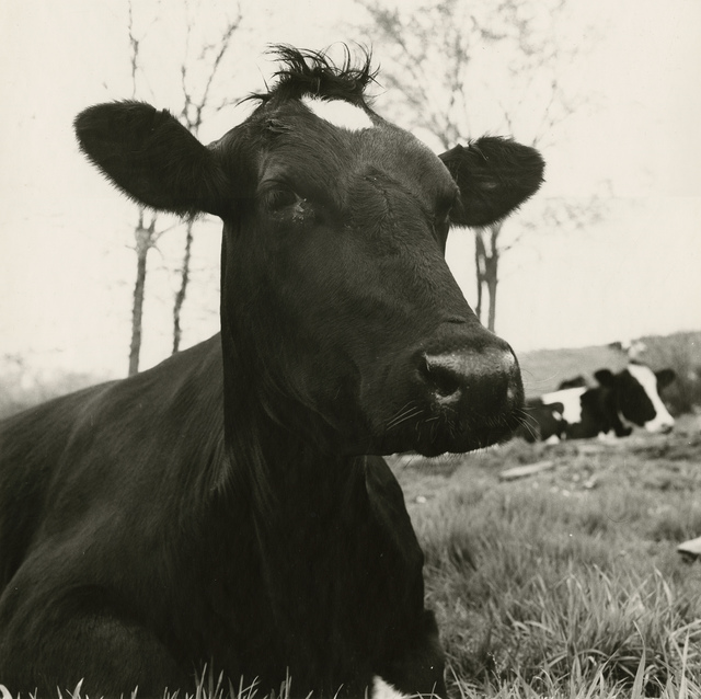 , 'Face of a Cow Lying Down, Hyrkin Farm,' 1978, Gitterman Gallery