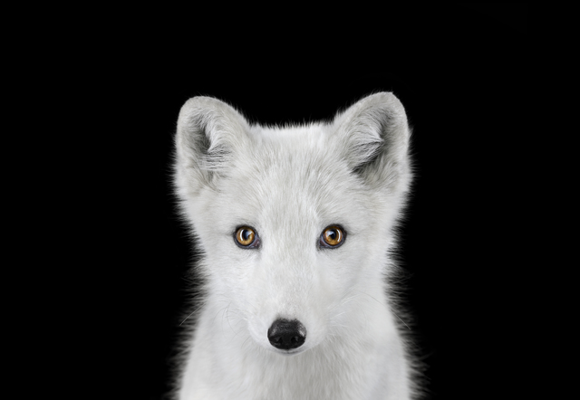 , 'Arctic Fox #1, Los Angeles, CA,' 2011, photo-eye Gallery