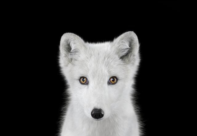, 'Arctic Fox #1, Los Angeles, CA,' 2011, photo-eye Gallery