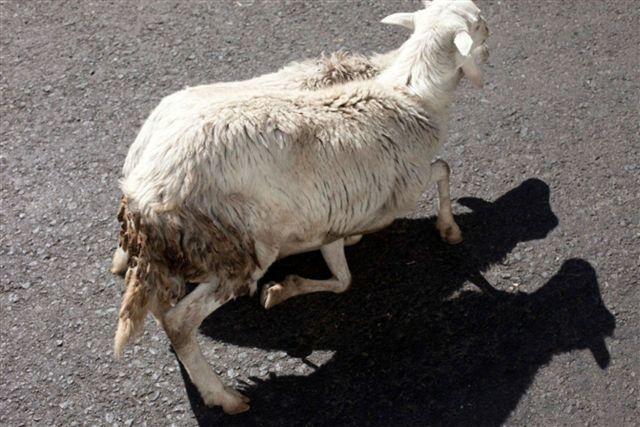 , 'SHEEP SHADOW,' 2012, Galería Juana de Aizpuru
